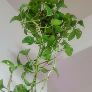 ポトス グローバルグリーン 苔玉 吊り A