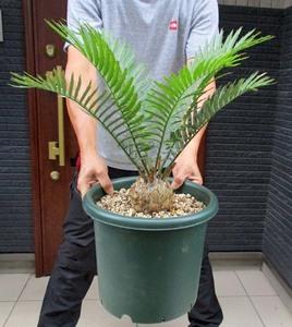 【現品】エンセファラルトス・レボンボエンシス Encephalartos lebomboensis 10号 R87