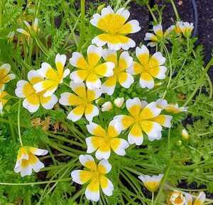 自家採種 リムナンテス・ダグラシー 種 20粒 ポーチドエッグフラワー 秋まき 春まき 花の種