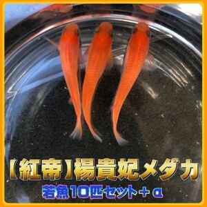 【紅帝】楊貴妃メダカ 若魚10匹セット