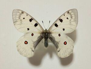 蝶 標本 ミヤマウスバ ♂ モンゴル