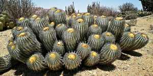 コピアポア シネレア Verハセトルナリアナ(マウンテンフォーム)種子10粒