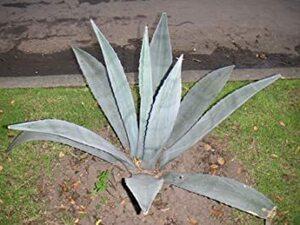 Americana 【多肉植物/種子】Agave Americana アガベ・アメリカーナ/アオノリュウゼツラン/青の竜舌蘭◎メ