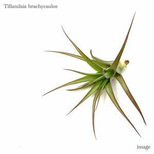 チランジア ブラキカウロス S size (エアープランツ ティランジア brachycaulos)