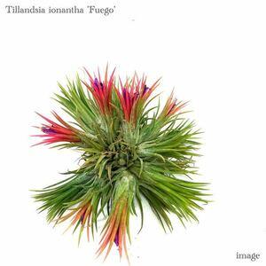 チランジア イオナンタ 'フエゴ' クランプ L size (エアープランツ ティランジア ionantha 'Fuego')