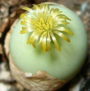 コノフィツム 翡翠玉   種子 5 seed