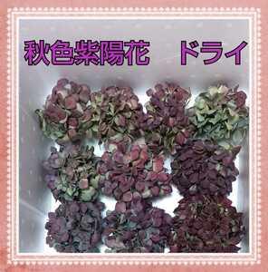◆◆Hydrangea◆◆秋色紫陽花ドライ:北海道産:ボルドー ライム ブルー:アジサイあじさい:小ぶり リース スワッグ ハンドメイド