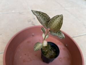 Anoectochilusroxburghii アネクトキルス ロクスバギー (ジュエルオーキッド 原種 洋蘭 ラン)