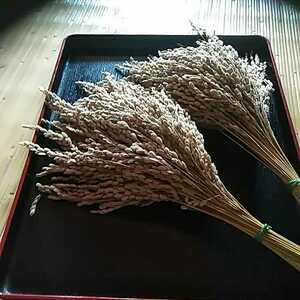 ドライフラワー用稲穂 落ち穂 お米の穂