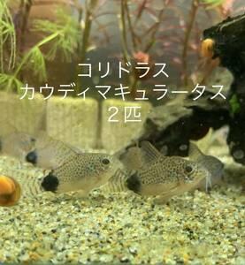 【希少種】 カウディマ キュラータス コリドラス 3cm以上 2匹 幼魚
