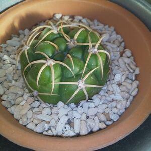 サボテン ギムノカリキウム属 海王丸 多肉植物 観葉植物 ユーフォルビア ドライガーデン