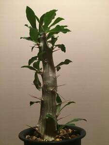 植物 発根済み 挿し木 Pachypodium saundersii パキポディウム サウンデ/シー / 白馬城 ◆検索 塊根 グラキリス パキプス パキポディウム