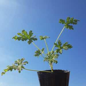 【送料無料】ハーブ ゼラニウム レモンの香り 挿し穂 挿し木 植物