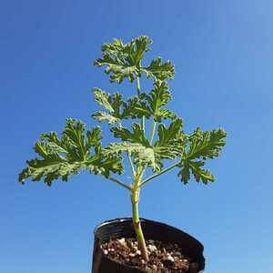 【送料無料】ハーブ ゼラニウム レモンの香り 挿し穂 挿し木 植物 NO.2