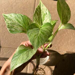 観葉植物 ポトス斑入り マーブルクイーン 根付き挿木 抜き苗