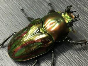 【美麗種】♀37.5mm 新成虫 ニジイロクワガタ