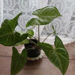 観葉植物 シンゴニウム 1株 ポットのまま