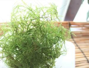 送料無料 自家製 無農薬 ウィローモス カップ一杯分くらい 浮き草のオマケ付き メダカ ミナミヌマエビ アクアリウム 水草