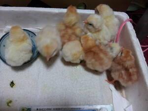 鶏有精卵 40個    10.14