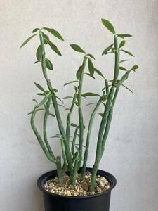 ユーフォルビア フォスフォレア Euphorbia phosphore 夜光麒麟 夜光キリン ハナキリン ブラジル原産 多肉植物 抜き苗便送料無料