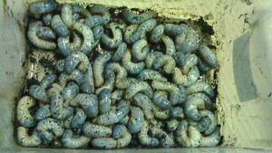国産カブトムシ幼虫 10頭