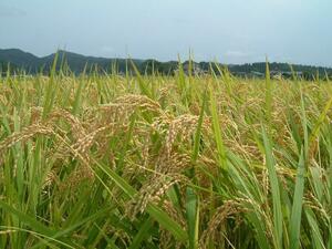 【令和3年産】新潟県産新之助・減農薬特別栽培米・精米済30キロ(中米・売切り)②
