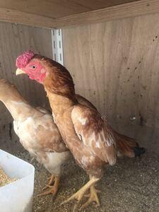 小軍鶏猩々種の種卵5個 有精卵