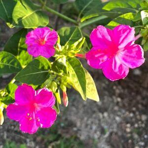 おしろい花の種 白粉花の種 200粒 ピンク オシロイバナ