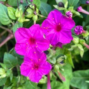 おしろい花の種 50粒 ピンク 絞り咲き 単色 白粉花 オシロイバナ 紫