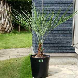 21*** здесь s cocos nucifera *** символ tree садовое дерево растение в горшке **