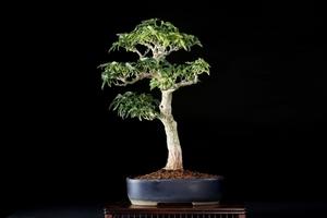 [雨竹亭] 【樹齢約20年 モミジ(獅子頭)】中品盆栽 雑木 立ち姿 秀作 幹肌