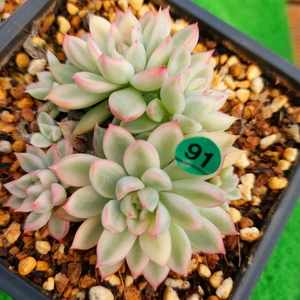 G1027-091 メビナ(錦)=合計2個 エケベリア 多肉植物 韓国苗 宝花農園