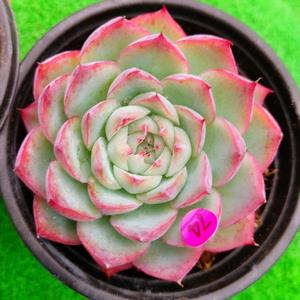 P1019-274 ピンククリスタル=合計2個 エケベリア 多肉植物 韓国苗 宝花農園
