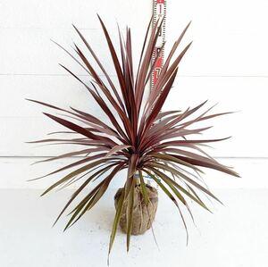 赤ドラセナ 樹高:約90cm 根巻 ヤシの木 ココスヤシ ガーデニング ニオイシュロラン コルジリネ レッドスター 248101