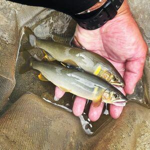 2021:第5弾、九頭竜川の天然鮎15匹・友釣り(冷凍)おまけ付、飛騨名物けいちゃん
