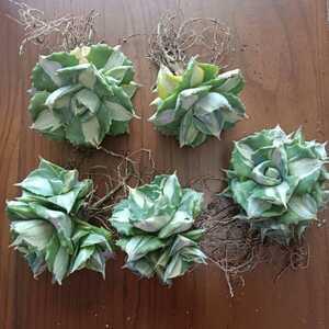 アガベ多肉植物王妃雷神白中斑 群生 5株 即日出荷する