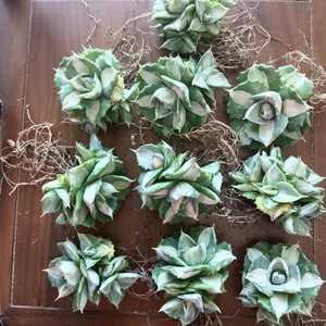 アガベ多肉植物王妃雷神白中斑 群生 10株 即日出荷する