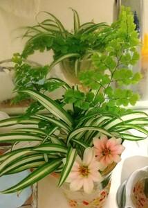 オリヅルラン(子株10個)プラス葉牡丹種