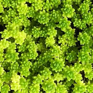 セダム 細葉万年草20カット★多肉植物★強い!よく増えます!