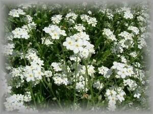 F-2 ワスレナグサ/忘れな草/勿忘草 白 30粒 花の種 2021年採種