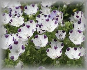 E-10 ネモフィラ/ルリカラクサ マクラータ/ファイブスポット 20粒 花の種 2021年採種