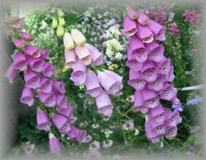 A-4 ジギタリス/フォックスグローブ/キツネノテブクロ ピンク 120粒 花の種 2021年採種
