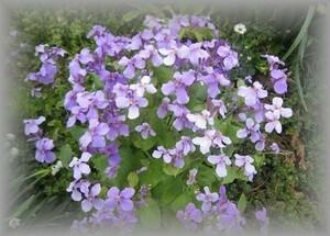 E-8 ムラサキハナナ/オオアラセイトウ 薄紫 50粒 花の種 2021年採種