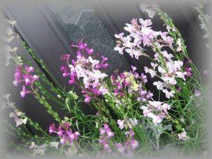 B-5 リナリア/姫金魚草 パステルミックス 高性 50粒 花の種 2021年採種