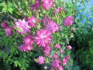C-4 アクイレギア/西洋オダマキ 濃ピンク 宿根草 20粒 花の種