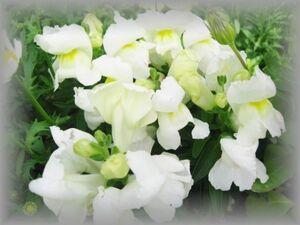 E-2 キンギョソウ 白 草丈20-30cmほど 50粒 花の種 2021年採種