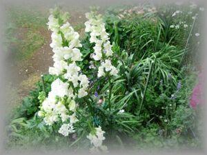 E-4 キンギョソウ 白 草丈80cmほど 50粒 花の種 2021年採種