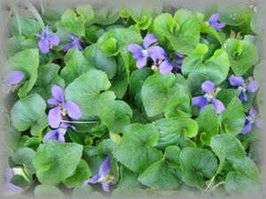 H-10 スミレ 濃紫 20粒 花の種 2021年採種