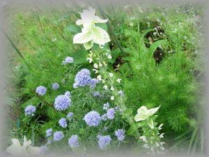 G-9 ペインテッドセージ/サルビアホルミナム ミックス 20粒 花の種 2021年採種