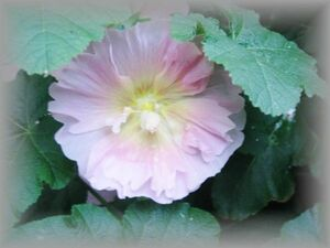 H-3 ホリホック/タチアオイ 薄桃 一重咲き 宿根草 20粒 花の種 2021年採種
